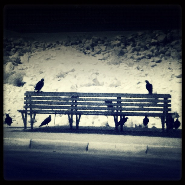 A pack of crows for my
