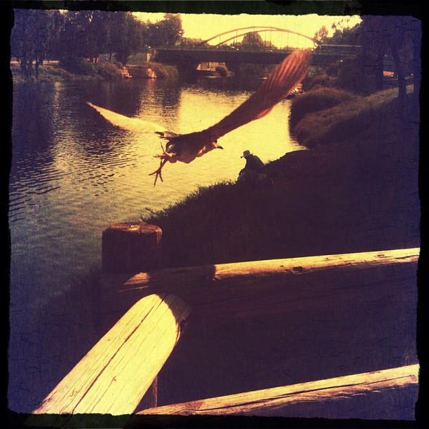 David Attenborough, eat dust! Black Crowned Heron flying over the fisherman.