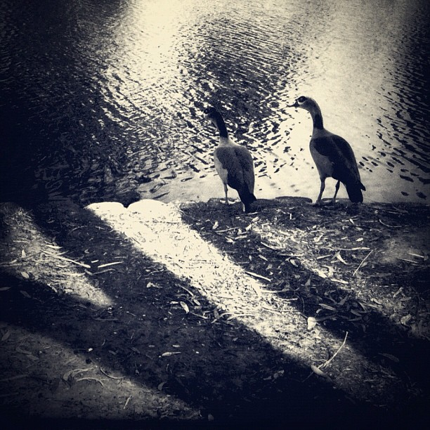 The noise these two geese made when I approached them, still rings in my ears...