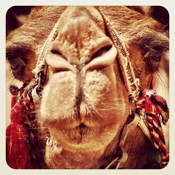 The Camel Triptic - Part III